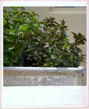 Vintage metal feeding trough filled with mint growing, a mix of chocolate mint and peppermint