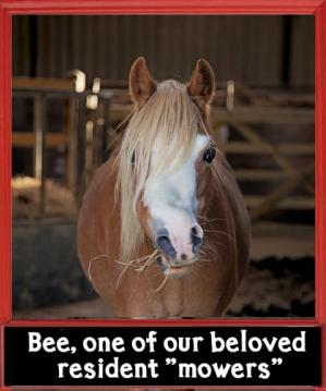 Pony with a broken nose and floppy fringe in a barn chewing straw