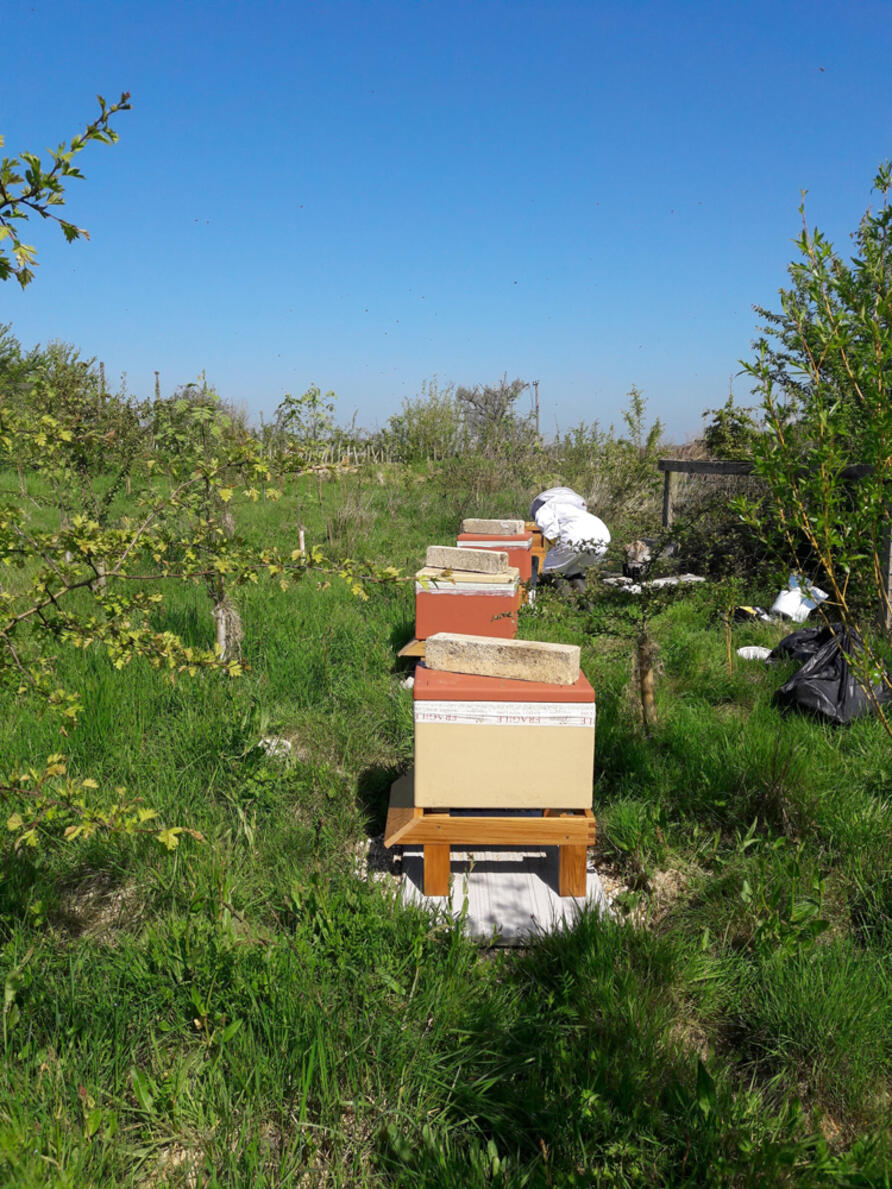 Bees in temporary hives