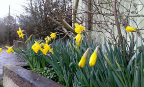 Daffodils in trough