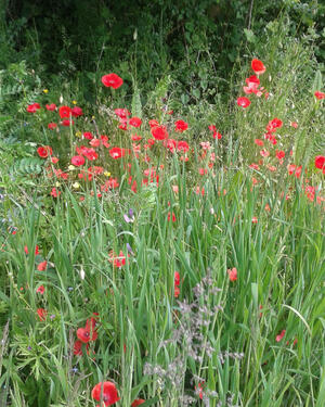 Gorgeous display of wild poppies