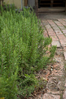 Rosemary borders footpath