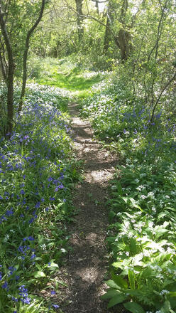 Ancient droveway with garlic and bluebells