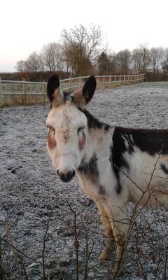 Cino the Donkey in the snow