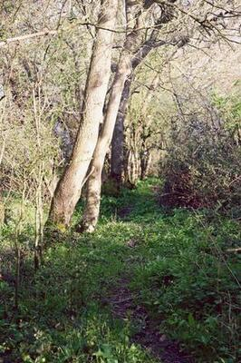 ancient droveway lined with old oaks and wild garlic