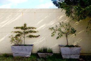 Espalier fruit trees against roly at Honeybuns bakery