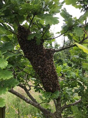 Honey Bees swarm around tree at Honeybuns