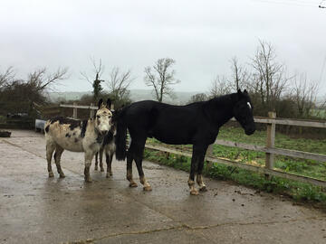 Donkeys and horse in paddock