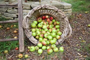 Basket of apples by ladder and tree