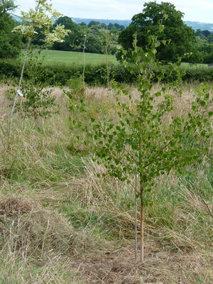 trees planted in wild meadow