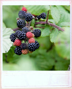 Close up of a clump of ripe and unripe blackberries on a branch with green leaves in background