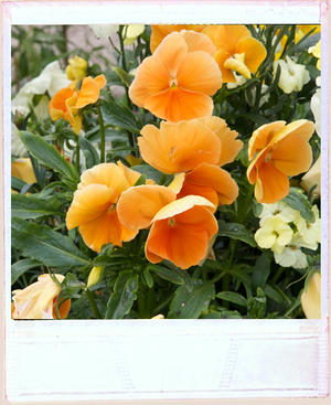 collection of orange pansies planted in a vintage metal container