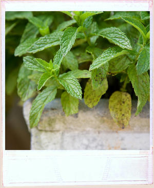 Fresh mint plant growing in rustic metal container