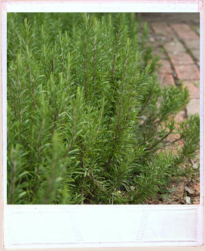 Bushy green rosemary next to a well worn red brick pathway